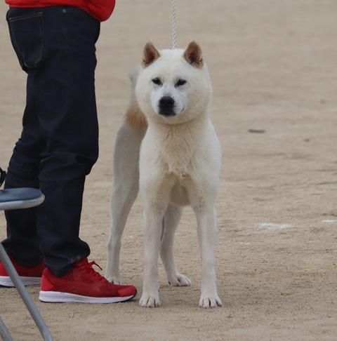 036【白雲号】信州駒津荘(武士×狼紀姫)中型雄部成犬組2席成犬賞1