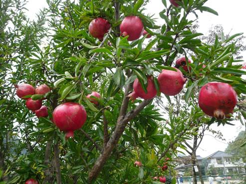 ザクロ1 わかりますか? そうザクロの木についてるザクロの実です! 真っ赤できれいな色をしていま