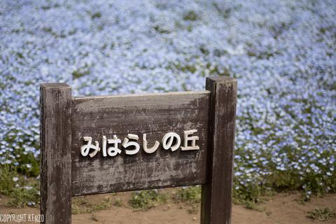 ひたちなか海浜公園ネモフィラ_8