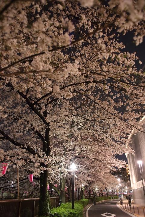 中目黒_夜桜_1