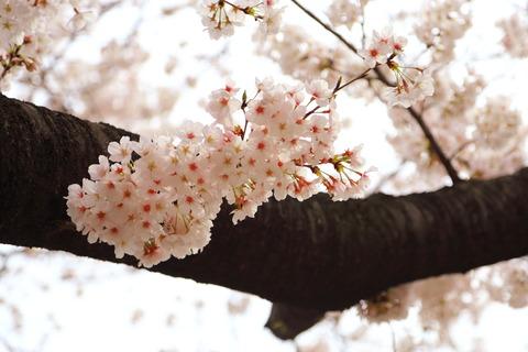 桜_千鳥ヶ淵