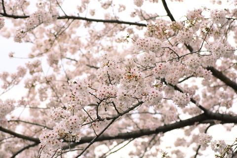 桜_千鳥ヶ淵3