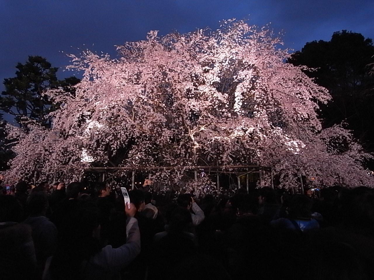kerokero diary:六義園 しだれ桜 ...