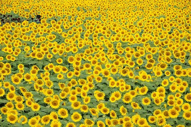 2011.8.14 ひまわり畑 12