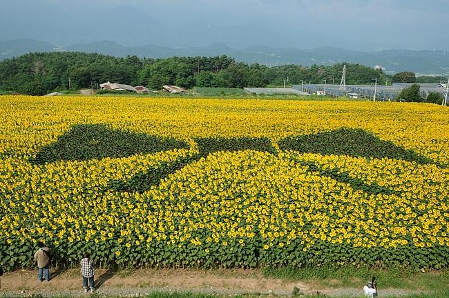 2011.8.14 ひまわり畑 4