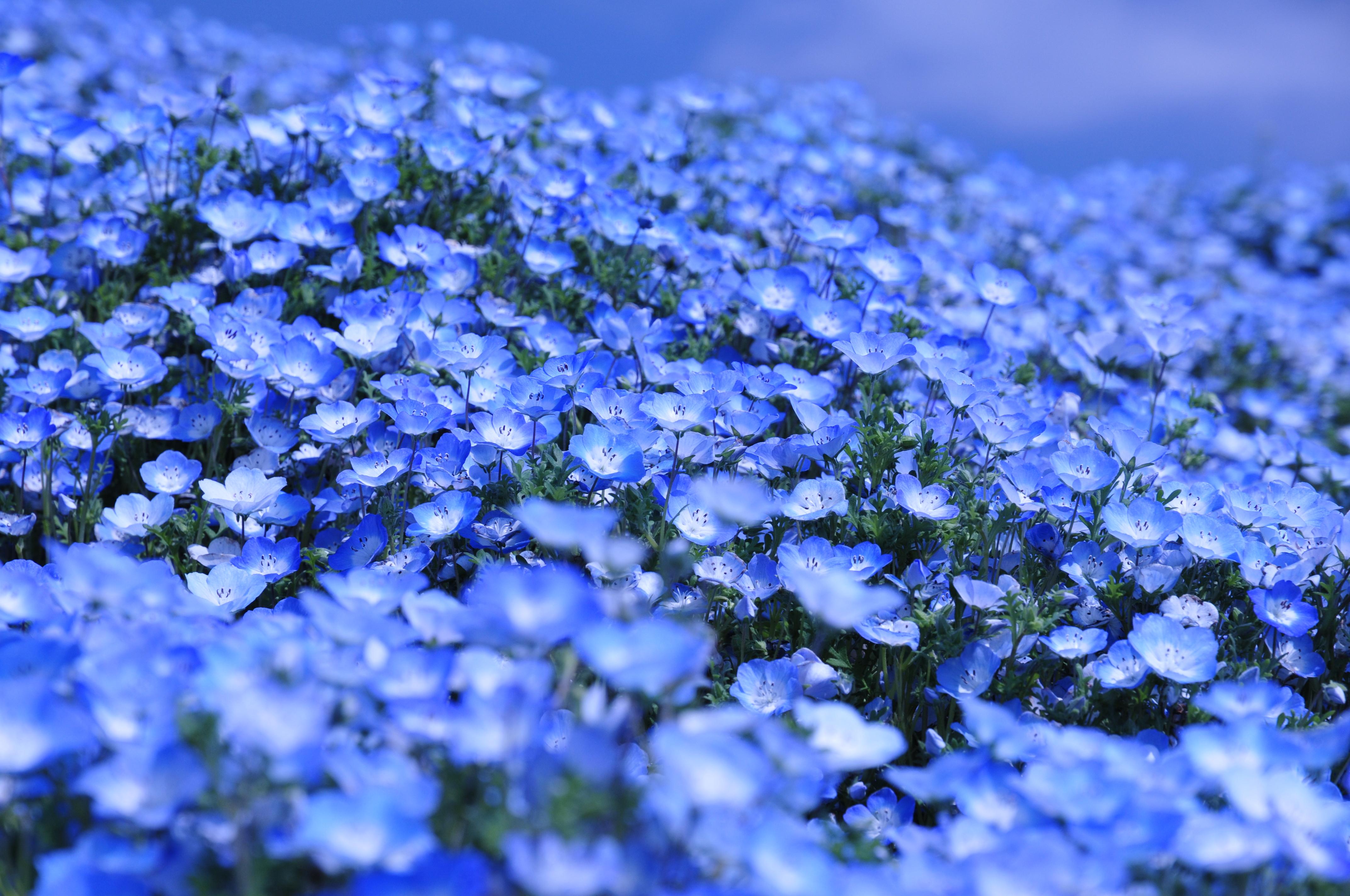 ネモフィラの丘とチューリップの森 2011 おでかけphoto日記