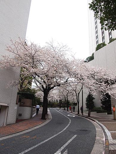 桜坂の桜見物1
