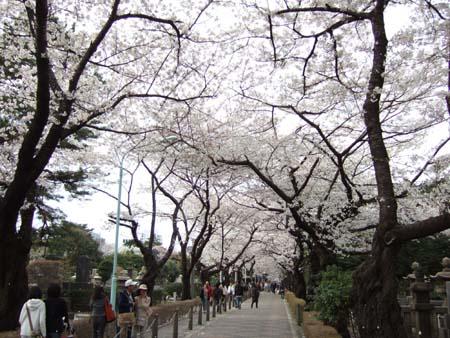 春の青山霊園1