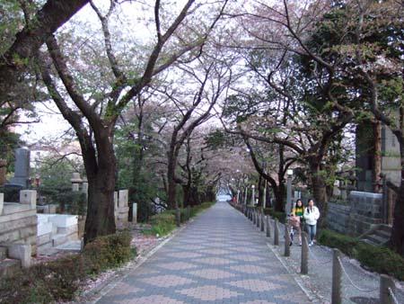 青山霊園の桜3