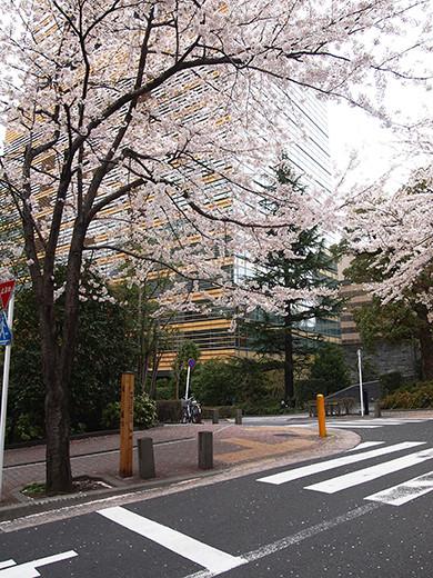 桜坂の桜見物3