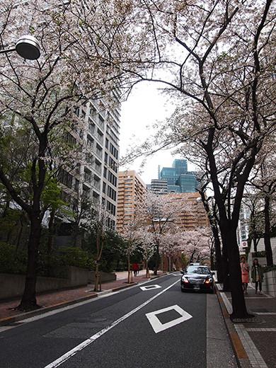 桜坂の桜見物7