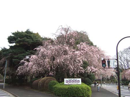 神宮外苑の桜3
