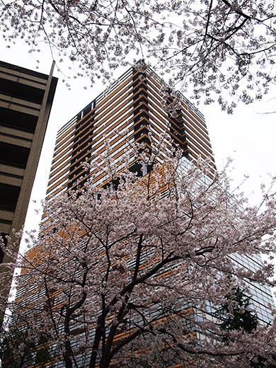 桜坂の桜見物4