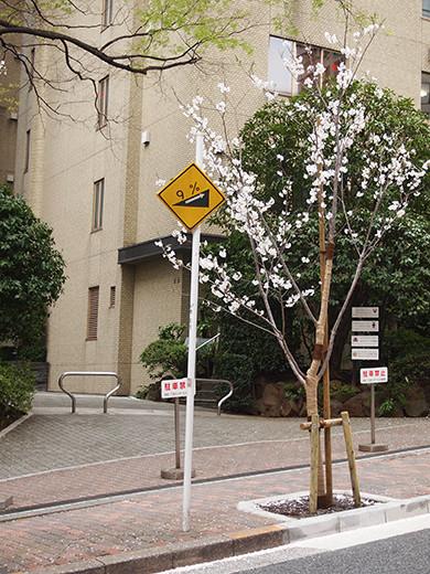 桜坂の桜見物2