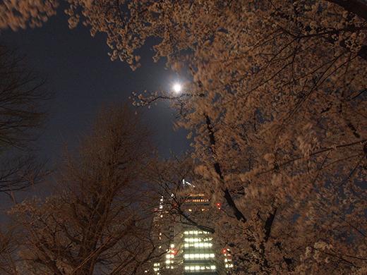 新宿中央公園の夜桜