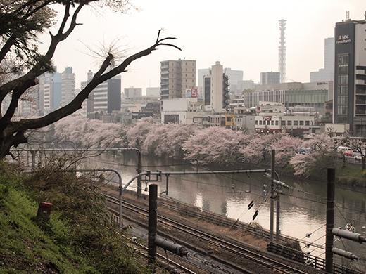 外濠公園の桜を見ながら坂道も4