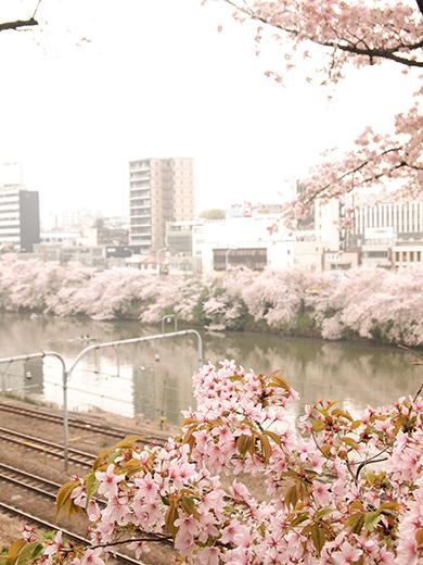外濠公園の桜を見ながら坂道も6