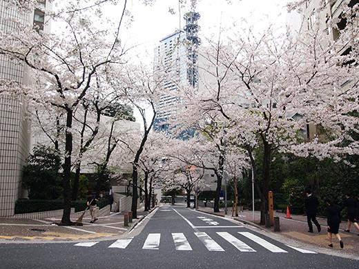 桜坂の桜見物5