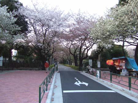青山霊園の桜2