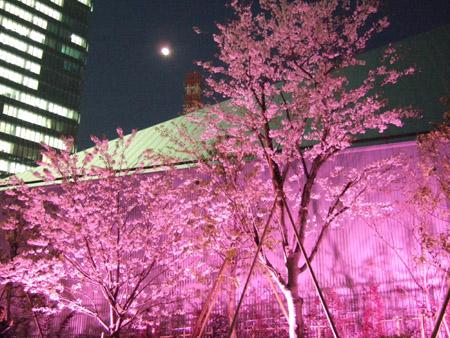 さくら坂で桜2