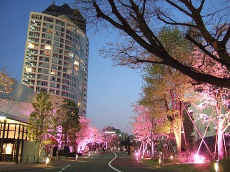 さくら坂で桜1