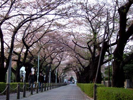 青山霊園の桜1
