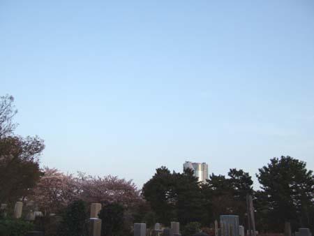 青山霊園の桜4