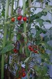 ミニトマト全景