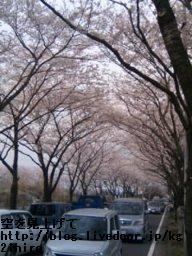 08033104_桜