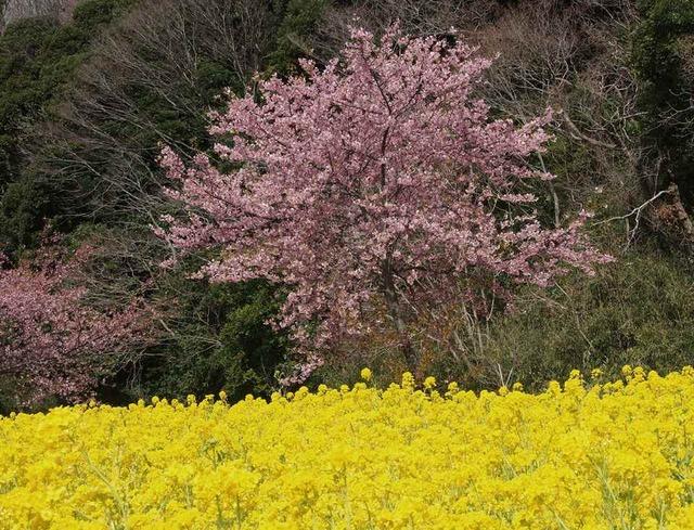 河津桜と菜の花_3.15