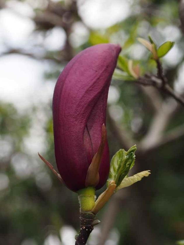 紫木蓮_4.10