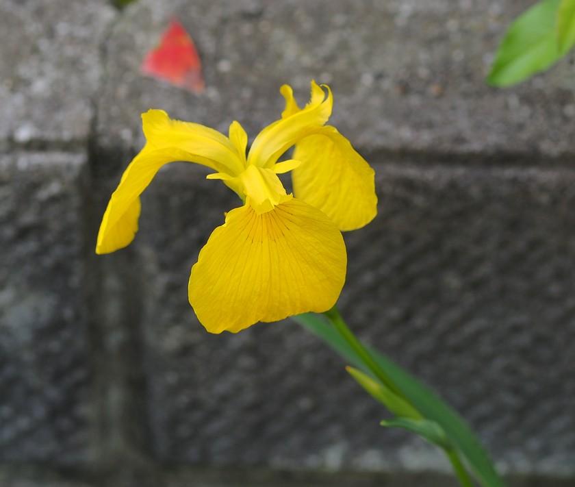 黄菖蒲_5.24
