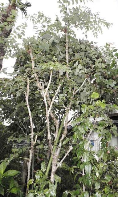 伸び過ぎのタラの木