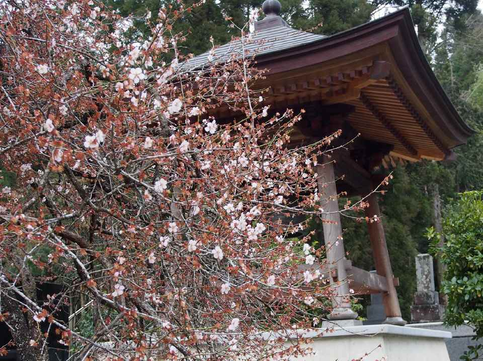 鐘楼と古木の梅