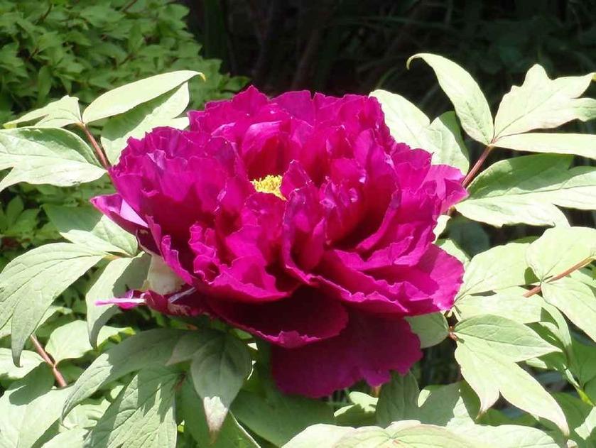 牡丹(紫)