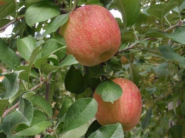 リンゴ_a