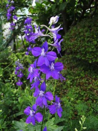 千鳥草_紫
