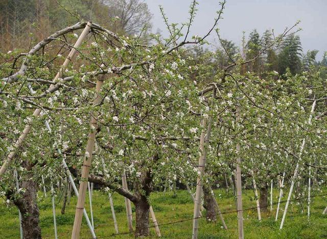 リンゴ園_4.30