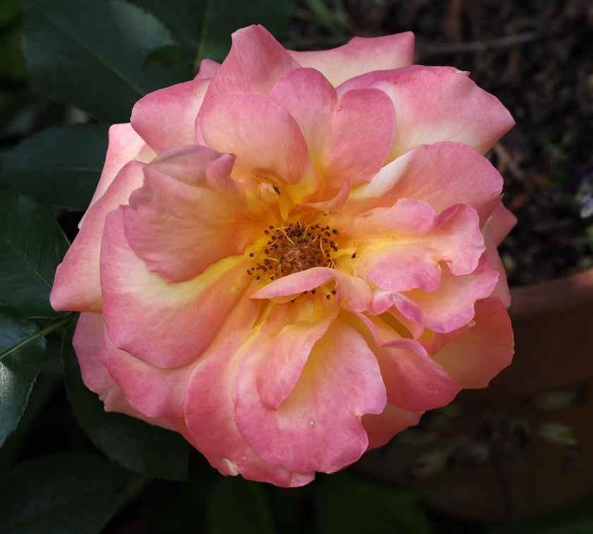 アンネの薔薇(散り際のピンク)_5.16