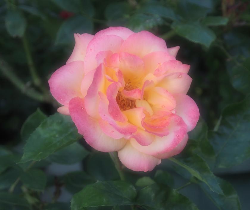 平和への願いのピンク