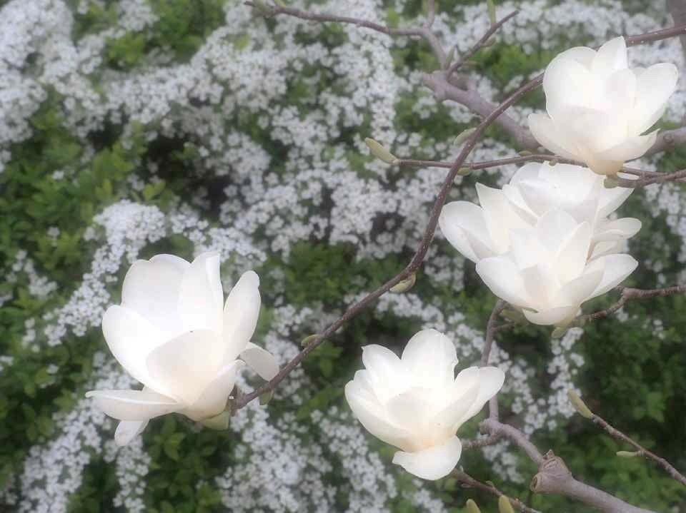 白木蓮と雪柳_4.10