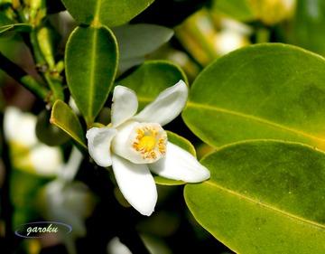 2.柚の花_2