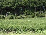 茶畑-1010312