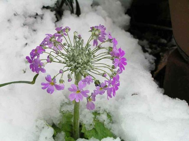 雪中のさくら草_'10.2.18