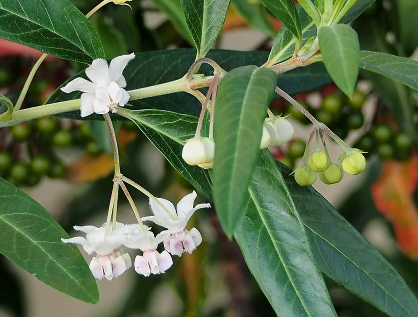 風船唐綿の花
