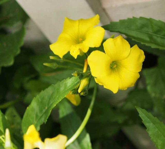 オキザリス(黄色)_5.26