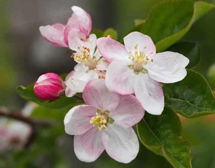 リンゴの花(a)_4.30