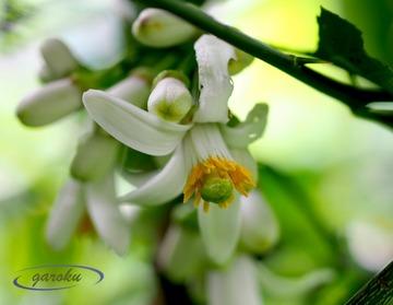 5.レモンの花