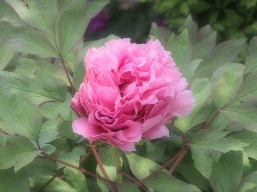 ピンクの牡丹_5.01