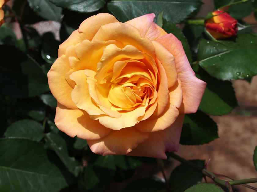 アンネの薔薇(黄色の可憐な花弁)_5.15